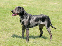 Typical Louisiana Catahoula dog Royalty Free Stock Photo