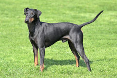Typical  Manchester Terrier  in the garden Royalty Free Stock Photography