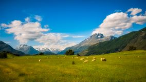 Almost typical New Zealand landscape. With snow capped mountains and meadows with sheep on a beautiful summer day in Otago region, New Zealand, South Island Stock Images