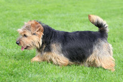 Typical Norfolk Terrier in the garden. Typical Norfolk Terrier in the spring garden royalty free stock photography