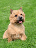The typical Norwich Terrier on a green grass lawn Royalty Free Stock Photos