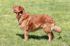 Typical Nova Scotia Duck Tolling Retriever in the garden Royalty Free Stock Images