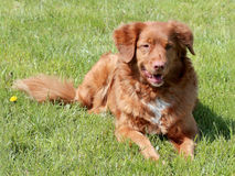 Typical Nova Scotia Duck Tolling Retriver  in the garden Royalty Free Stock Image