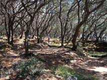 Typical olive trees forest on Corfu, Greece Stock Photography