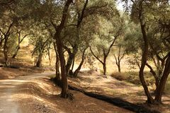 Typical olive trees forest on Corfu, Greece Royalty Free Stock Images
