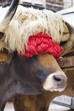 Typical ox of Basque Country. Spain Royalty Free Stock Image