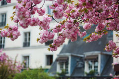 Typical Parisian building and cherry blossom trees Royalty Free Stock Image