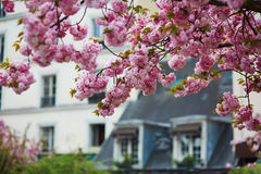 Typical Parisian building and cherry blossom trees Stock Photography