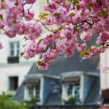 Typical Parisian building and cherry blossom trees Stock Images