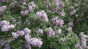 Typical park bush. purple lilac in blossom stock video footage