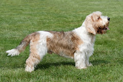 Typical Petit Basset Griffon Vendeen in the garden Royalty Free Stock Images