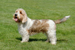 Typical Petit Basset Griffon Vendeen in the garden Royalty Free Stock Photography