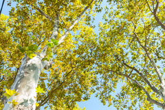 Typical plane tree foliage and canopy above Stock Photos
