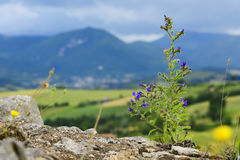 Typical plant and landscape in Marche Stock Image