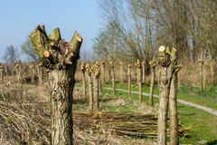 Typical pollard willows in Holland Stock Image