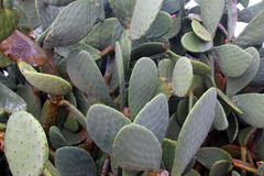 Prickly pears leaves. Typical prickly pears in salento region in italy royalty free stock photo