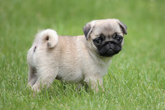Typical Pug dog in the garden royalty free stock photography