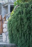 Typical rosemary plant in a Croatian garden. A stone wall completely covered by a beautiful green rosemary plant. Rosemary is used as a spice in the stock image