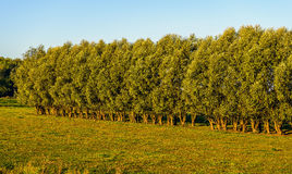 Typical row of willow trees in early morning sunlight Royalty Free Stock Photography
