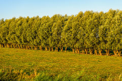 Typical row of willow trees in early morning sunlight Royalty Free Stock Photos