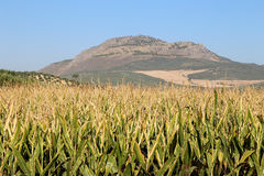 Typical rural landscape with olives and corn fields. Andalusia, Spain Stock Photography