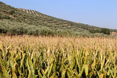 Typical rural landscape with olives and corn fields. Andalusia, Spain Stock Images