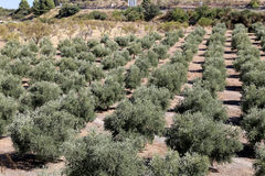 Typical rural landscape with olives and corn fields. Andalusia, Spain Royalty Free Stock Image