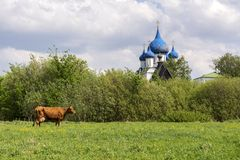 Typical Russian landscape. Cow grazing in the meadow. The domes of the Church can be seen in the distance. Suzdal, Russia royalty free stock image