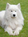 Typical Russian white Samoyed dog Royalty Free Stock Images