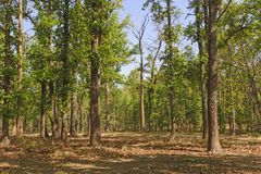 Typical Sal Forest in India Stock Image