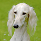 Typical Saluki dog  on a green grass lawn Stock Images