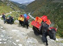 Common sight of black yak carrying goods, crates for humans on the highland country side of Nepal