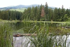 Typical scenery of Vrbicke lake with tree in water, reflection on water surface and with background of spruce trees. Beautiful Slovakia royalty free stock photography