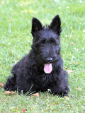Typical Scottish Terrier on a green grass lawn Stock Photo