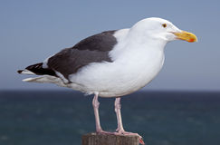 Typical seagull Royalty Free Stock Photography