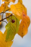 Typical shades of autumn. Autumn foliage and berry close up after a rain Royalty Free Stock Photography