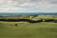 Typical sheep pasture landscape of the North Islan Royalty Free Stock Image