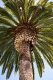 Coronado Island Palm Royalty Free Stock Photo