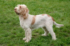 Typical  Spinone Italiano dog  on a green grass lawn Stock Photo