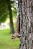 Typical Squirrel Stock Photo
