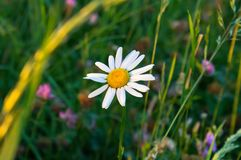 Lone daisy in the field royalty free stock photo