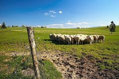 Typical surroundings of Slovak sheep farm with sheeps, meadow for grazing and beautiful nature. Green grass and sheeps with meadow royalty free stock image