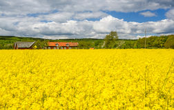 Typical Swedish field of rape Stock Image