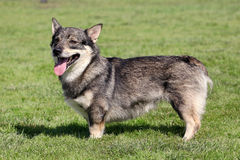 The typical Swedish Vallhund in the garden royalty free stock photo