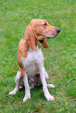 Typical Swiss Hound -Schweizer Laufhund - on a green grass Stock Photography