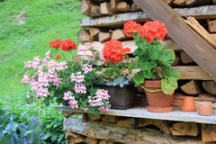 Typical Swiss scene. Flowers, geranium on stacked wood. Stock Photos