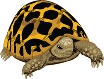 Typical tortoise Royalty Free Stock Images