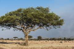 Typical tree in Africa. Typical tree in savannah in Tanzania Royalty Free Stock Photo
