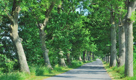 Typical Tree Avenue,Ruegen island,Germany Royalty Free Stock Images