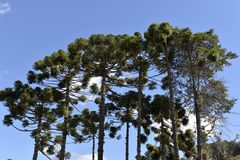 Araucaria tree. Typical tree of the city Campos do Jordao in Sao Paulo State, araucaria, in a beauty blue day Royalty Free Stock Images